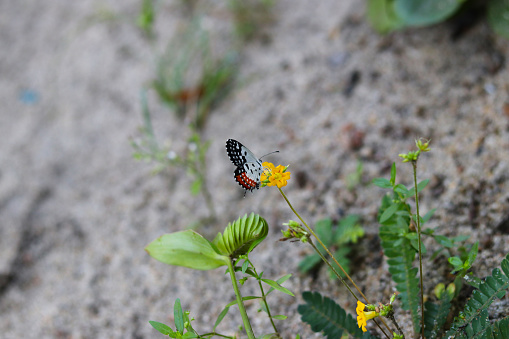 butterfly seeking nectar on a sensitivum flower with copy space, beautiful picture.