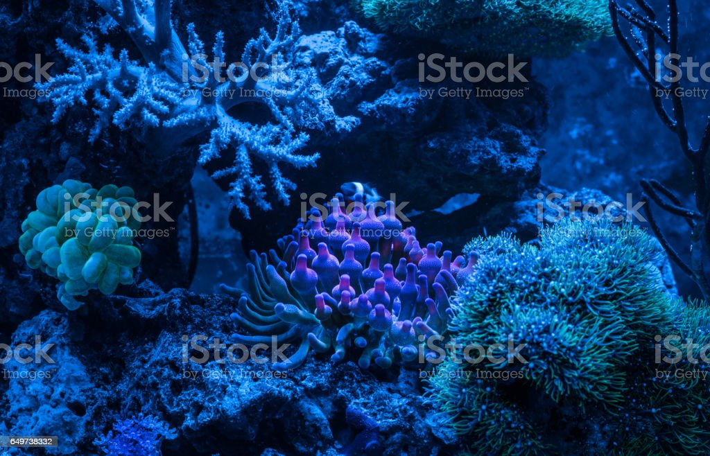 Entacmaea quadricolor (Bubble tip anemone, Corn anemone) and Amphiprion ocellaris (Ocellaris Clownfish). Gorgonaria Euplexaura sp. Sea Fan. Clavularia. stock photo