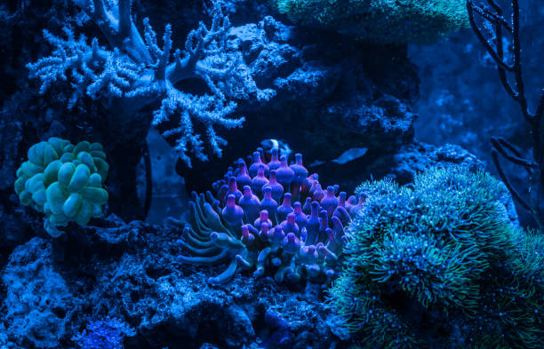 Entacmaea quadricolor (Bubble tip anemone, Corn anemone) and Amphiprion ocellaris (Ocellaris Clownfish). Gorgonaria Euplexaura sp. Sea Fan. Clavularia. A tank filled with water for keeping live underwater animals. Night view. sea anemone stock pictures, royalty-free photos & images