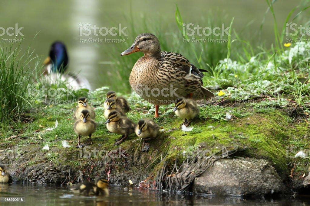 Entenfamilie mit Entenküken stock photo