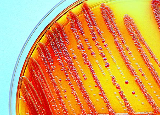 Enterobacteria Enterobacteria grown on a selective agar plate. Part of the commensal microbion. symbiotic relationship stock pictures, royalty-free photos & images