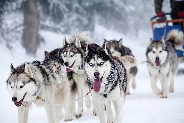 Enthusiastic team of dogs in a dog sledding race picture id538327687?b=1&k=6&m=538327687&s=612x612&w=0&h=mj7rszqpqn2mlcso3o6ze upltomkcbhnsh0te2yvmq=