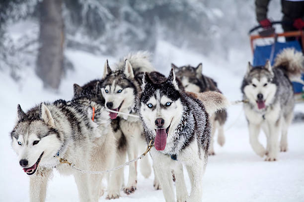 Enthusiastic team of dogs in a dog sledding race. Dog-sledding with huskies husky dog stock pictures, royalty-free photos & images