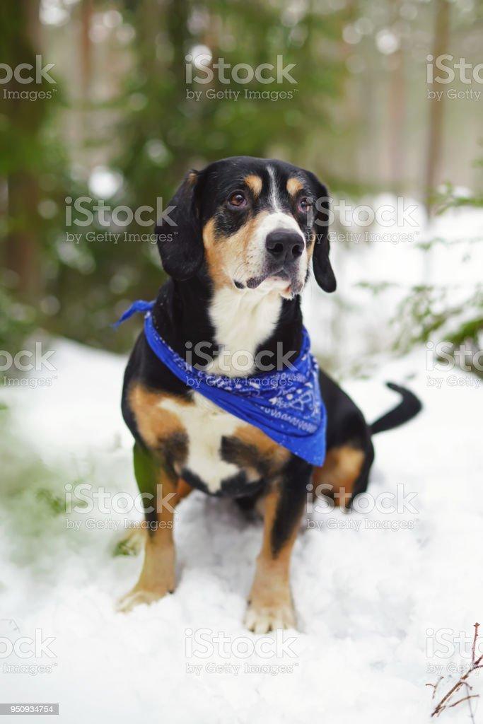 Entlebucher Sennenhund Ein Blaues Halstuch Am Hals Zu Tragen Und
