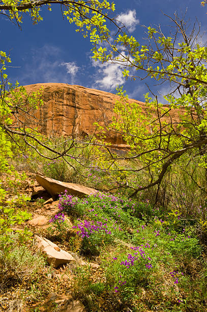 Entrada Sandstone Cliffs and Purple Desert Flowers Landscape Sce Entrada Sandstone Cliffs and Purple Desert Flowers Landscape Scenic.  View of scenic vista in narrow canyon during spring when things are in bloom in the desert near Moab, Utah USA.  Captured as a 14-bit Raw file. Edited in ProPhoto RGB color space. entrada sandstone stock pictures, royalty-free photos & images