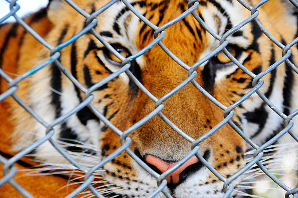 entrapped - animals in captivity stock pictures, royalty-free photos & images