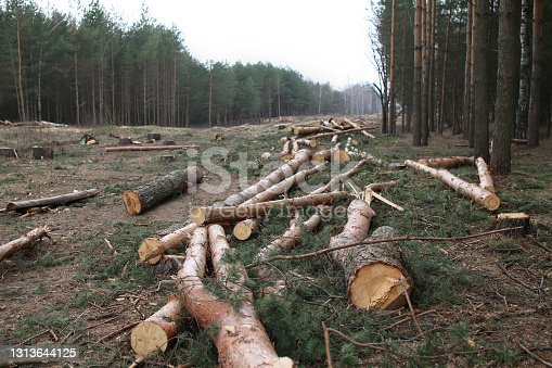istock Environment, nature and deforestation - cutting down and felling of trees in a forest 1313644125
