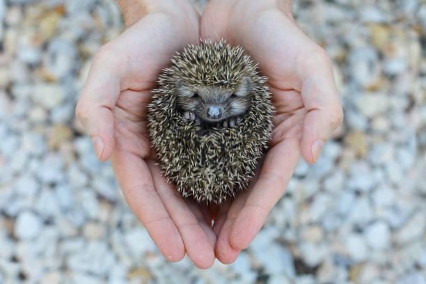 Environment protection little animal hedgehog in human hand picture id664410508?b=1&k=6&m=664410508&s=612x612&w=0&h=ykzfbyn64qsyh mweqbidyeoqxeotfebelq07bzpl14=