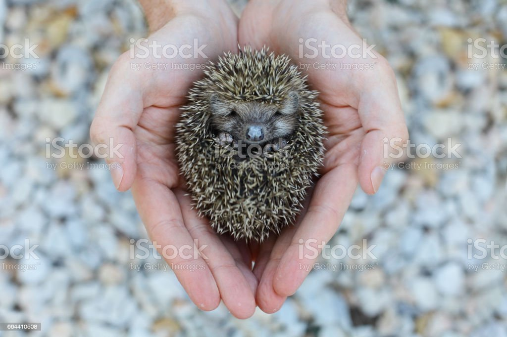 Environment protection: Little animal - hedgehog in human hand stock photo