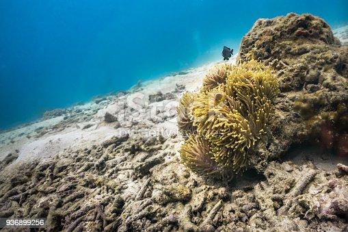 istock Environmental damage:  one last coral 936899256