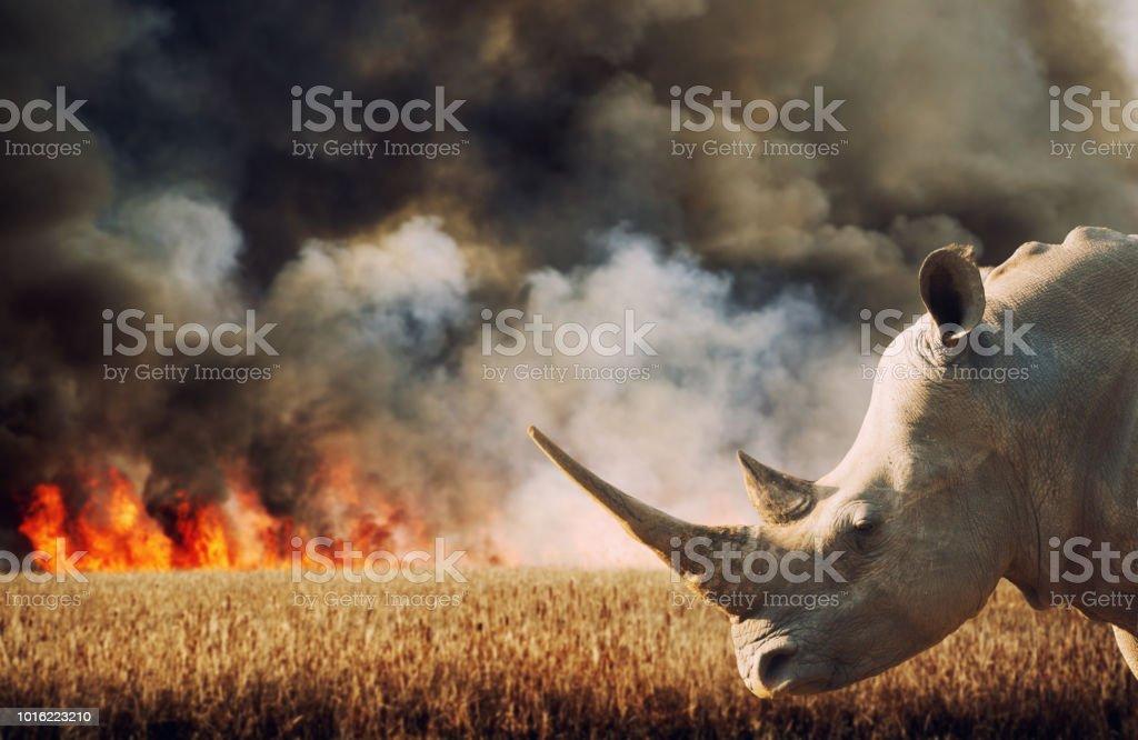Environmental Damage (Savanna Fire and Rhinoceros in Africa) stock photo