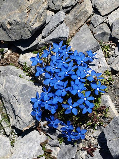 enzian  blue gentian in the alps with stones - gentiaan stockfoto's en -beelden