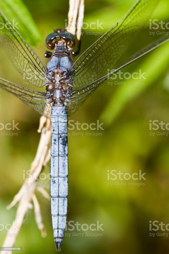 Apolet şapka (Orthetrum chrysostigma) stok fotoğrafı