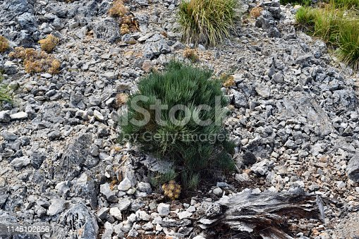 1145104190 istock photo Ephedra Fragilis plant ommonly named the joint pine 1145102656