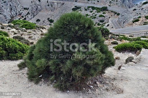 1145104190 istock photo Ephedra Fragilis plant ommonly named the joint pine 1145106721
