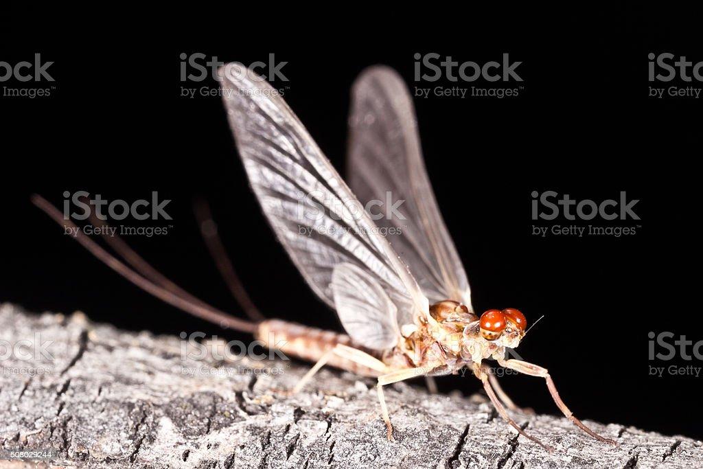 Ephemerella aurivillii mayfly dun (subimago) stock photo