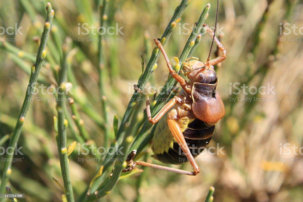 Ephippiger Grasshopper royalty-free stock photo