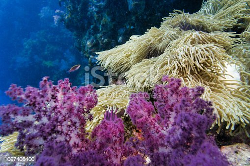 istock Epic nature underwater Magnificent Sea Anemone (Heteractis magnifica) Clown fish and Purple Alcyonarian coral 1067408400