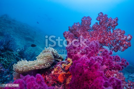 istock Epic nature underwater Purple Alcyonarian coral and Magnificent Sea Anemone (Heteractis magnifica) 1181624588