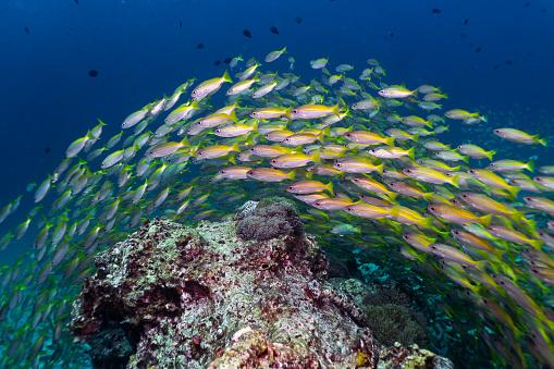 istock Epic nature underwater school of Bigeye Snapper (Lutjanus lutjanus) fish 1038059124