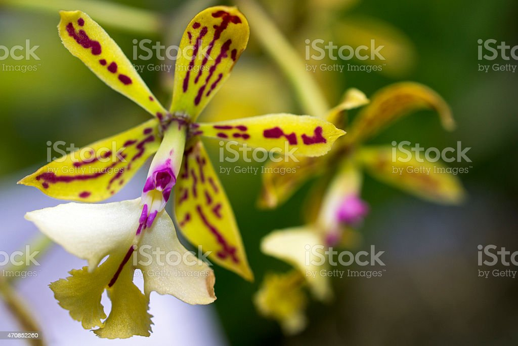 Epidendrum Orchid stock photo