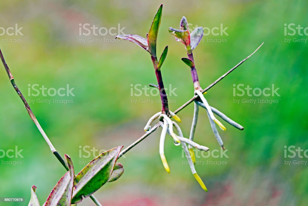 Epidendrum Orchid Plant Leaves and Stems with New Shoots stock photo