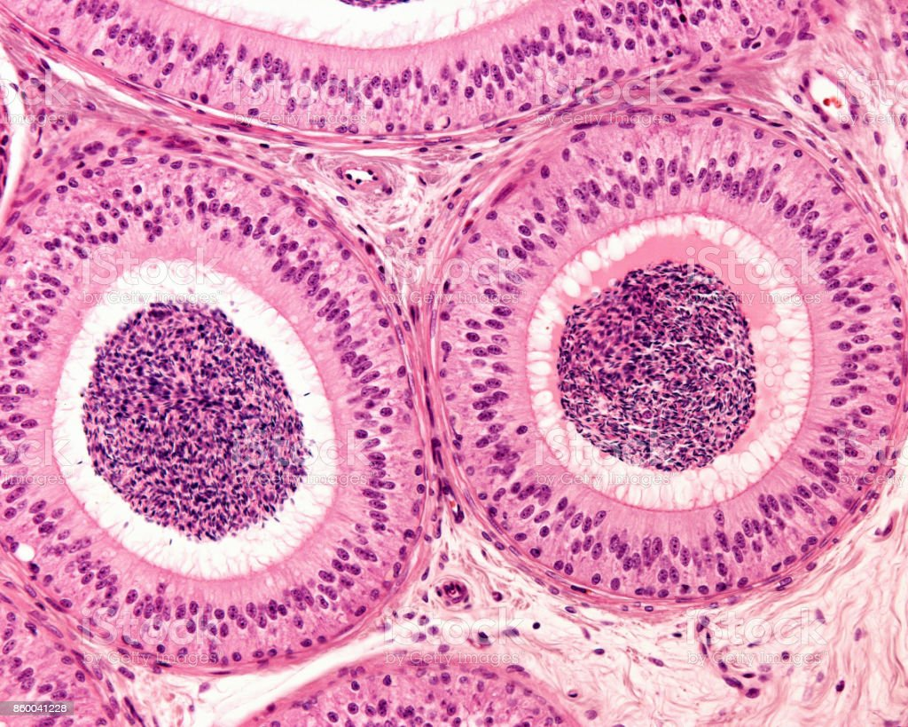 Epididymis. Pseudostratified epithelium stock photo