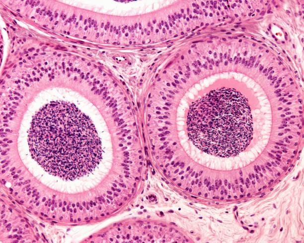 Epididymis. Pseudostratified epithelium stock photo
