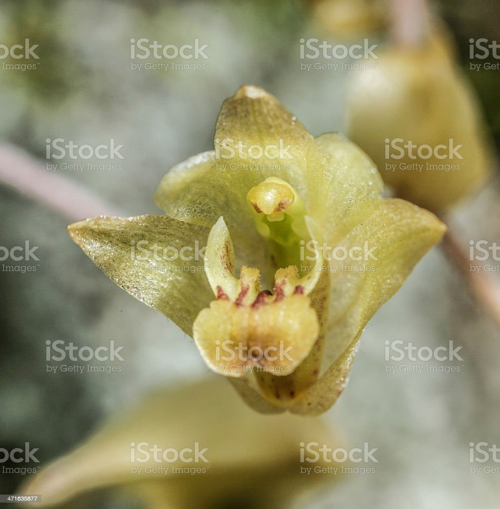 Epigeneium triflorum from rainforest royalty-free stock photo