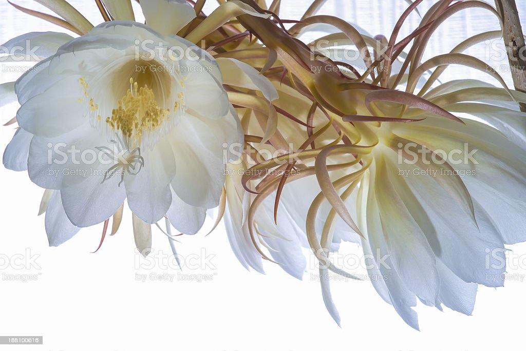 epiphyllum blossoms royalty-free stock photo