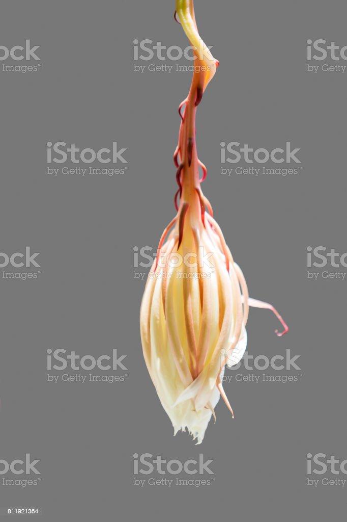 Epiphyllum Cactus Flowers stock photo