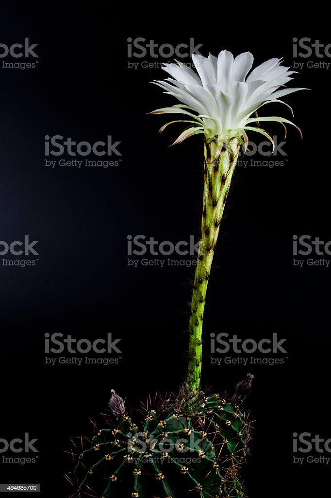 Epiphyllum stock photo