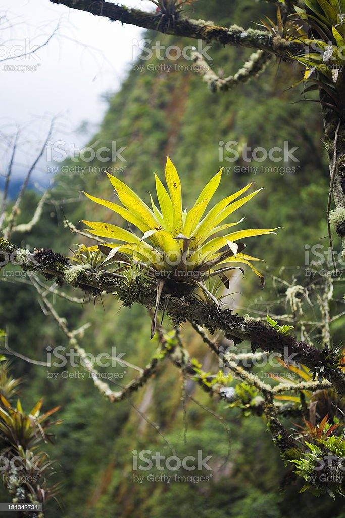 Epiphyte From Machu Picchu, Peru stock photo