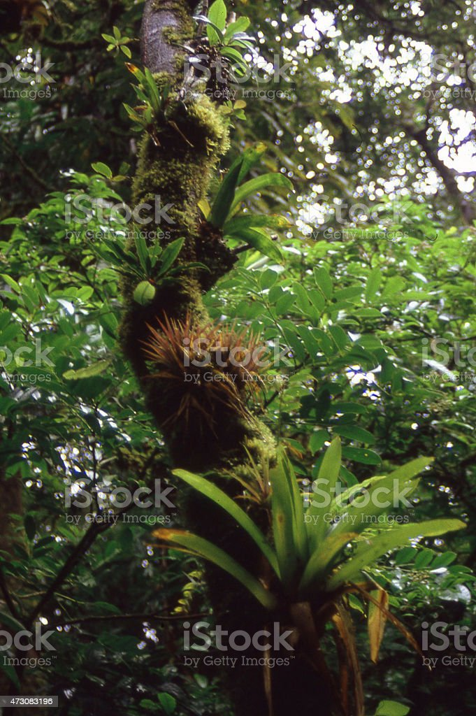 Epiphytes aerial plants Cloud Forest La Tigra National Park Honduras stock photo