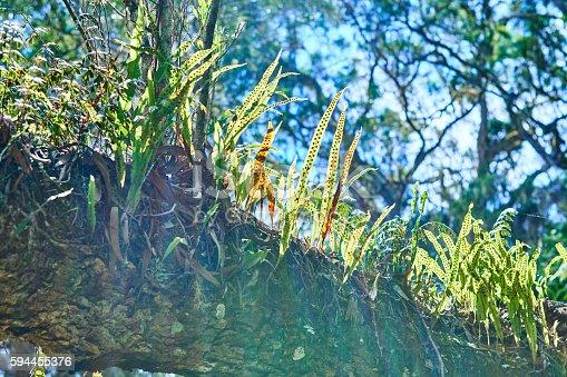 Epiphytes In Mafare rainforest in Reunion Island.