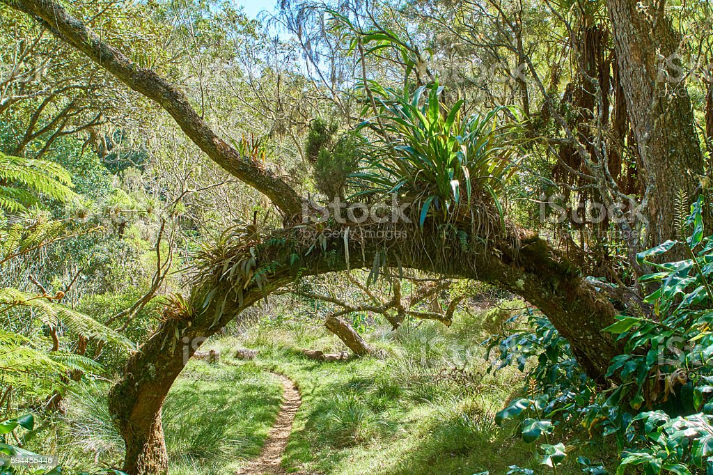 Epiphytes in Reunion rainforest stock photo