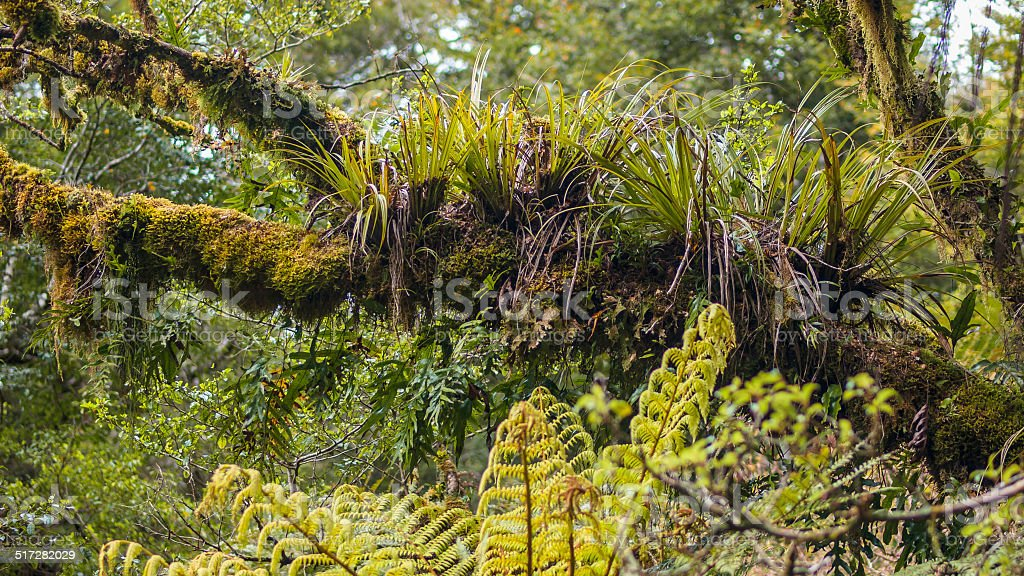 Epyfites on tree branch in humid forest of Te Urewera stock photo