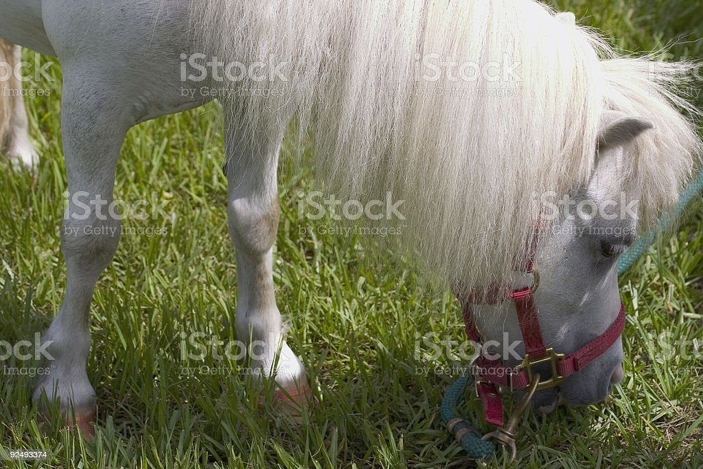 Equestrian: White Pony Grazing royalty-free stock photo