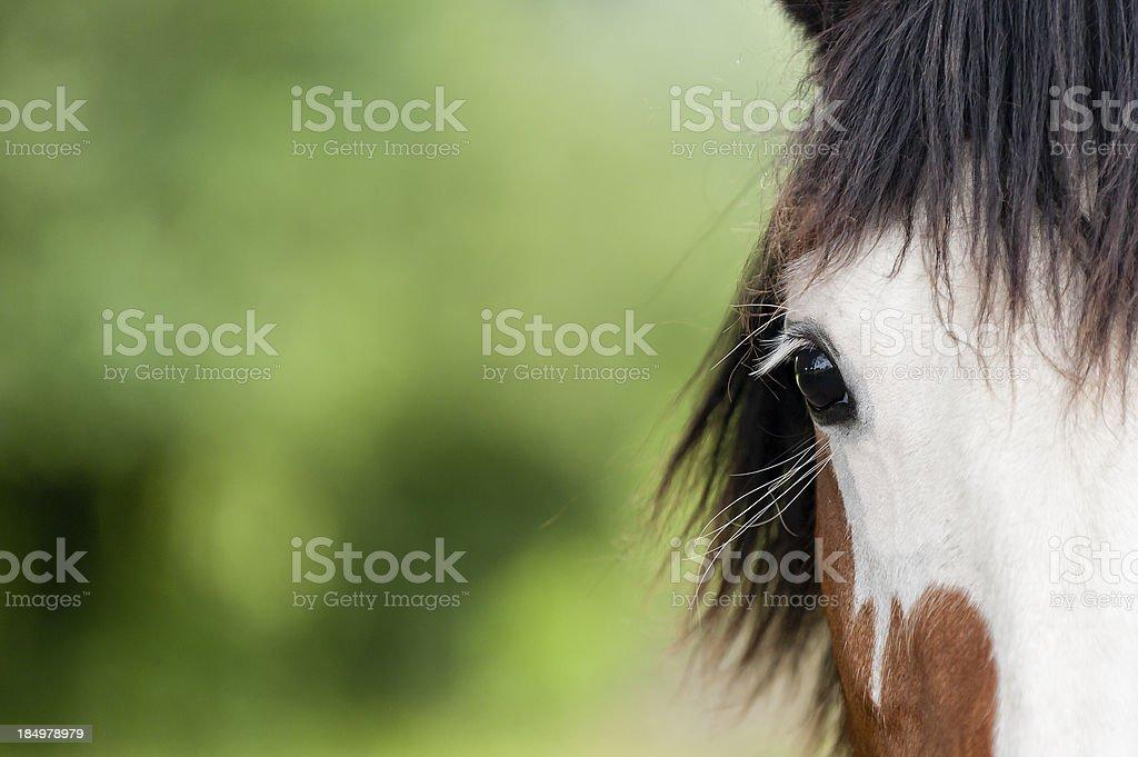equine beauty royalty-free stock photo