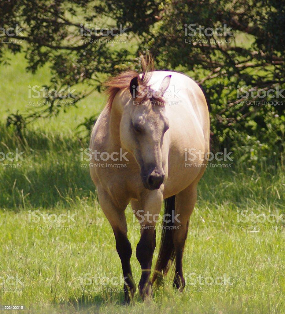 Equine Horse Photograph Buckskin Stallion Gelding Mare