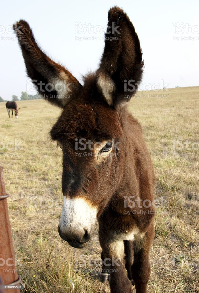 equine scenes - all ears mule royalty-free stock photo