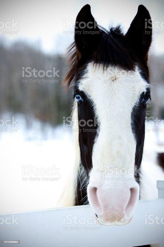equine series winter pasture horses stock photo