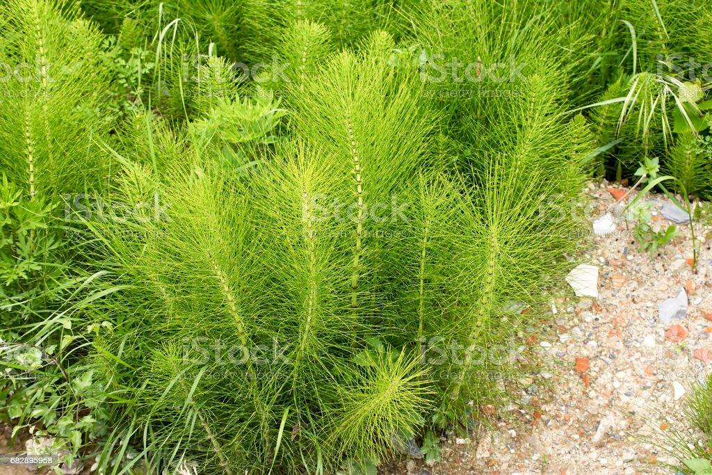 Equisetum Arvense. Schachtelhalm. Equisetum. Schlange-Rasen. Puzzlegrass Lizenzfreies stock-foto