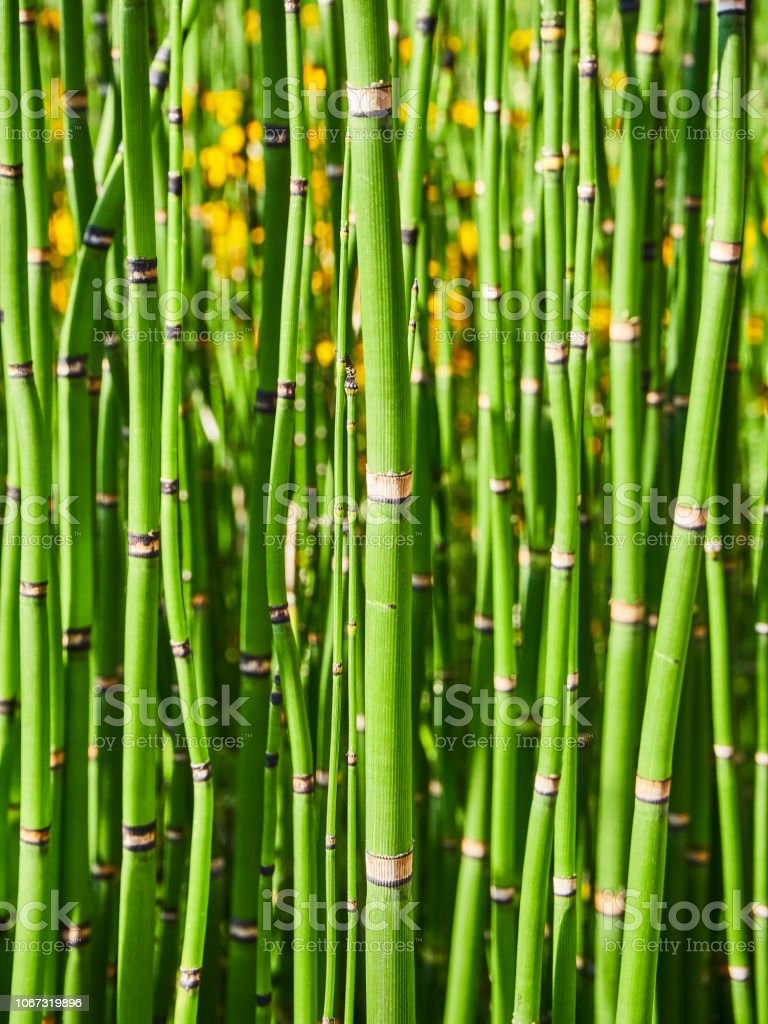 Equisetum hyemale, also known as Rough Horsetail. stock photo