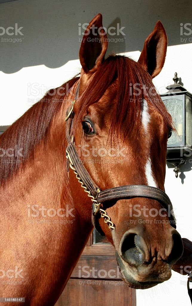 Equus stock photo