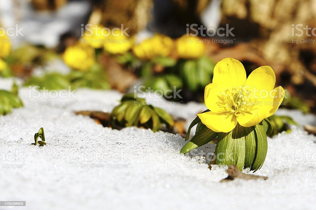 Eranthis Buttercup early spring flower in snow stock photo