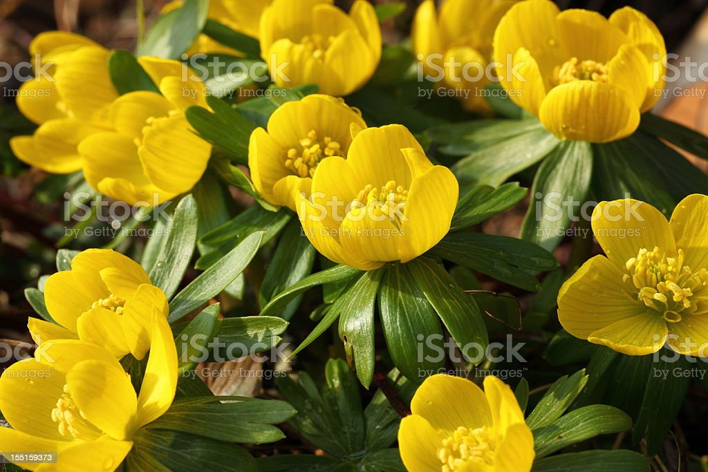Eranthis Buttercup early spring flower stock photo