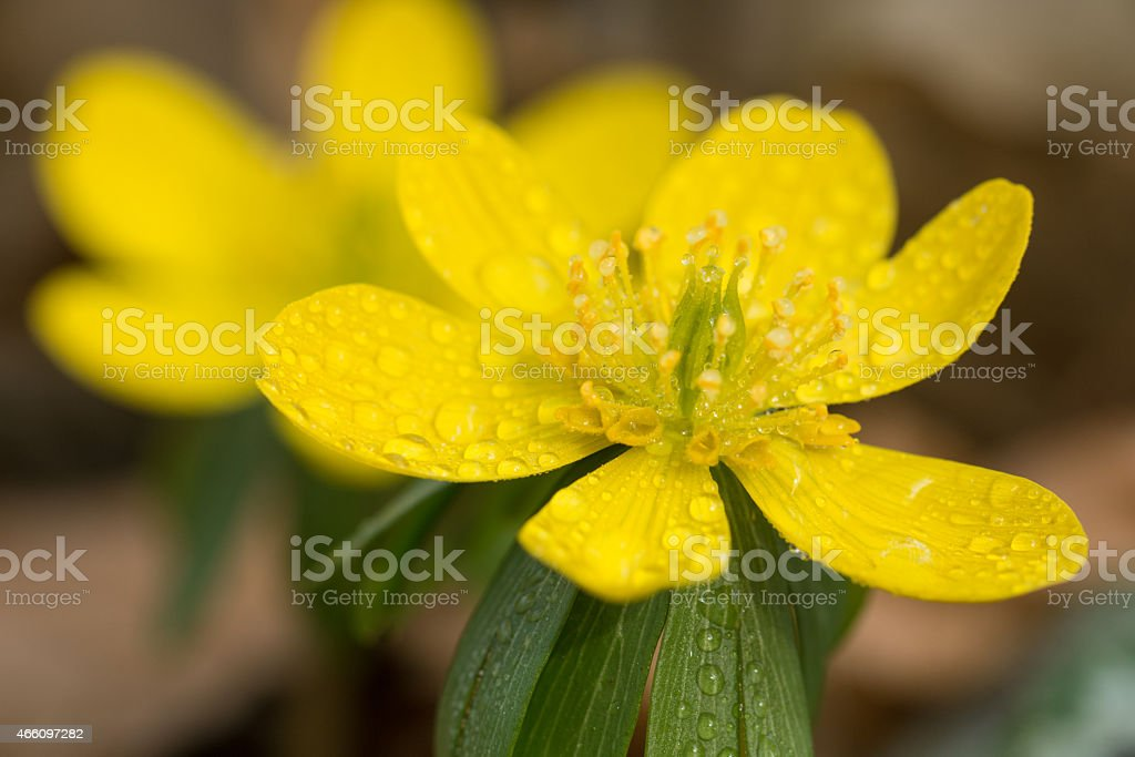 Eranthis hyemalis - Photo