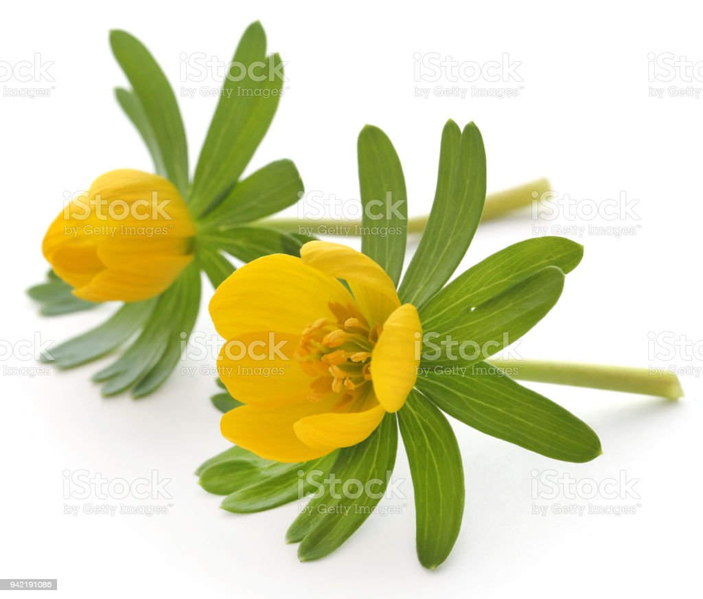 Eranthis hyemalis stock photo