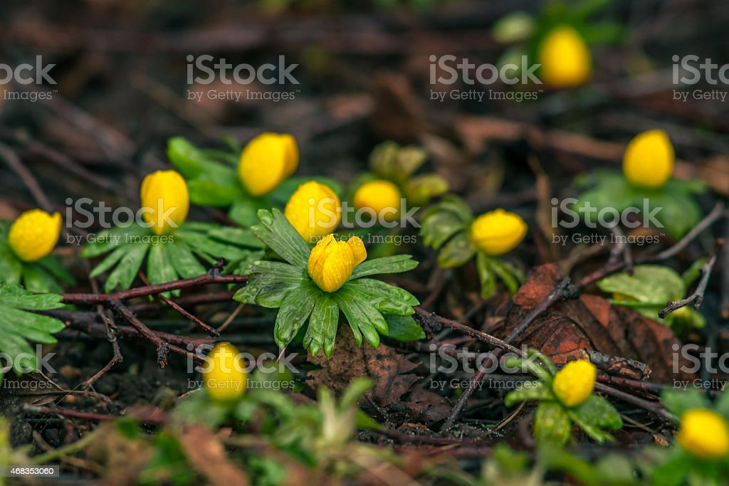 Eranthis in the springtime royalty-free stock photo